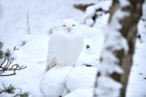 Snowy owl in winter