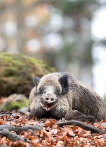 Boar in autumn
