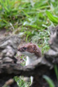 Ermine, Big Weasel