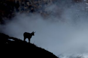 Chamois in winter, silhouette