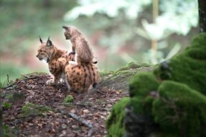 Lynx with young in the forest
