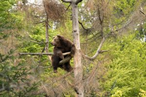 Brown bear in the spring