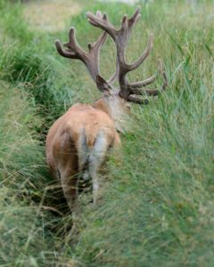 Capital red deer in the bast