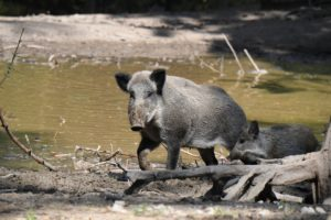 Wild boars in the wallow