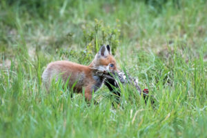 Young fox with prey