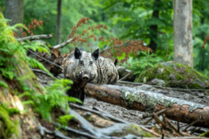 Wild boars in the mixed forest