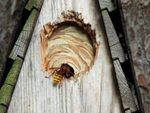 Hornets nest in a nest box