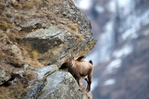Ibex in the high mountains