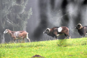 The mouflon rutting season