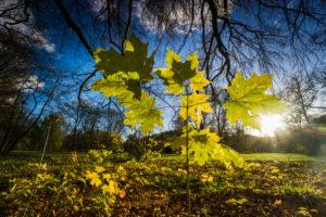Forest, plants, autumnal, maple, back light,