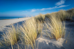 Baltic Sea with golden yellow beach grass in the sunlight, winter on the Baltic Sea and grasses on the beach
