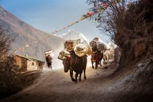 Nepalrind mit Last und Träger auf dem Weg, Berge im Hintergrund