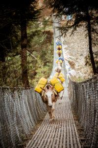 Donkey trek on suspension bridge, donkey, transport donkey