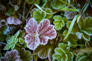 Plant, leaves, first frost, cold,