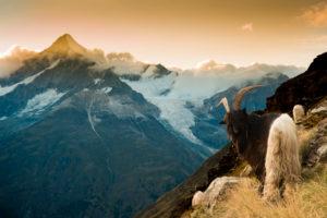 Walliser Schwarzhalsziege oberhalb der Täschhütte bei Zermatt, Blick in Richtung Weißhorn