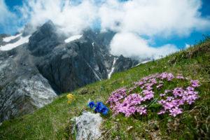 Mountain flowers, gentian, Wetterstein, Bavaria, Germany