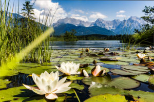 Water lilies on the Barmsee with a view of Karwendel, Upper Bavaria, Germany,