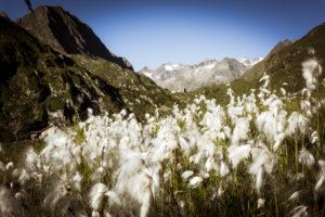 Franz Senn hut with cottongrass, Stubai Alps, Austria