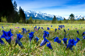 Enzian meadow near the river Isar, in the background the Wetterstein mountain range, Wallgau, Bavaria, Germany