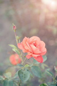orange Vintage Rose