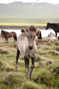 Mountains, pony, iceland, landscape