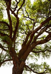 Tree, large, Florence, Tuscany, Italy
