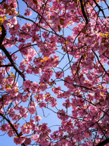 Cherry tree, cherry blossom, blue sky, Hamburg, Germany