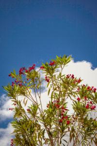 Oleander, Pflanzen, Pisa, Toskana, Italien