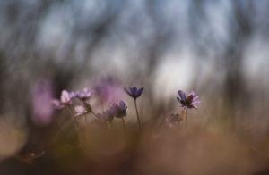 Deutschland, Bayern, Naturschutzgebiet, Leberblümchen, Hepatica nobilis