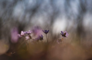 Germany, Bavaria, nature reserve to see liverwort Hepatica nobilis