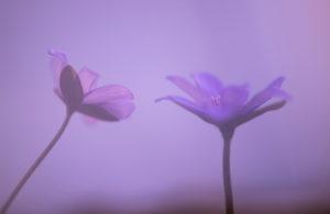 Deutschland, Bayern, Naturschutzgebiet, Leberblümchen, Hepatica nobilis doppelt belichtet