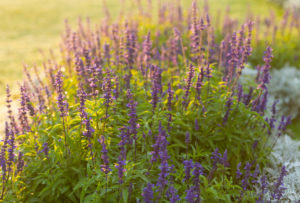 Lavender, Lavandula