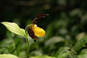 die prächtigste wildwachsende heimische Orchideenart, der Gelbe Frauenschuh, Cypripedium calceolus