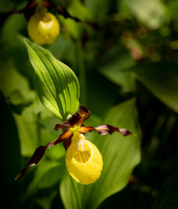 the most magnificent native orchid species that grows wild, the yellow lady's slipper, Cypripedium calceolus