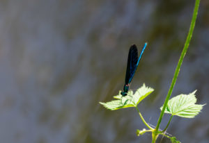 Banded demoiselle (Calopteryx splendens), metallic blue-green