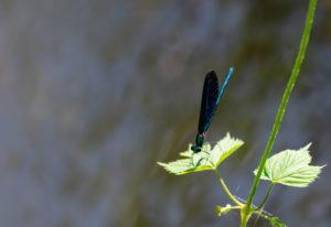 Gebänderte Prachtlibelle (Calopteryx splendens), metallisch, blaugrün