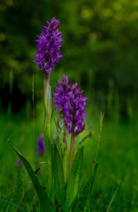Broad-leaved orchid, Dactylorhiza majalis, Orchid of the year 2020