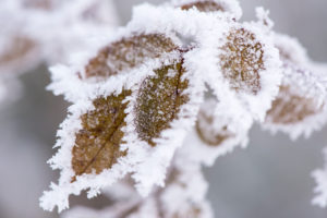Hoarfrost at plants in icy cold