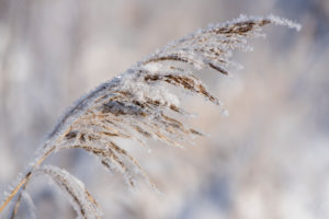 Winter scenery with plants in the hoarfrost