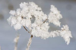 Raureif an Pflanzen in Eiskälte