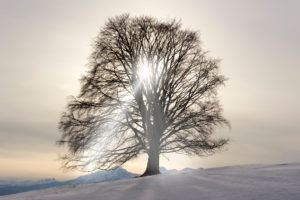 Single tree beech in winter and back light