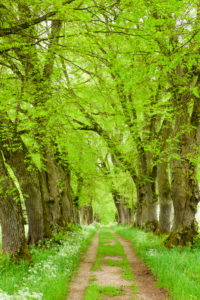 Tree avenue with footpath in spring at Marktoberdorf with old linden trees