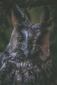 Long-eared Owl, Owl, Forest, Bavarian Forest,