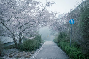 Cherry blossoms on the roadside in the morning mist
