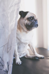 Beige colored pug looks out of the window