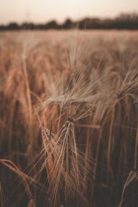 Getreide, Nahaufnahme