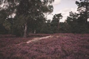 Heathland in the Lüneburg Heath