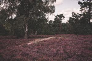 Heidelandschaft in der Lüneburger Heide