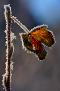 iced up maple leaf