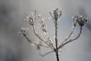 gefrorener Blütenstand